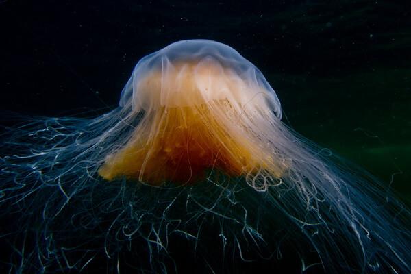 Животные Белого моря - Медуза «огненная грива»