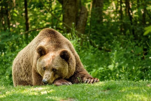 Животные Болгарии с фото и описанием - Медведи
