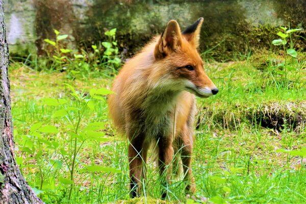Животные Болгарии с фото и описанием - Лисицы