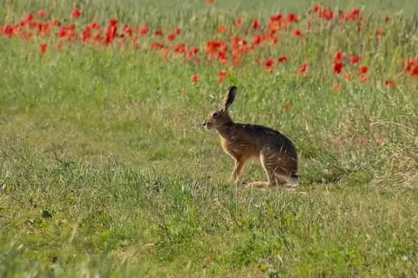 Животные Болгарии с фото и описанием - Дикие кролики