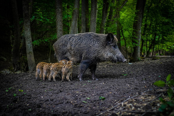 Животные Болгарии с фото и описанием - Дикие кабаны