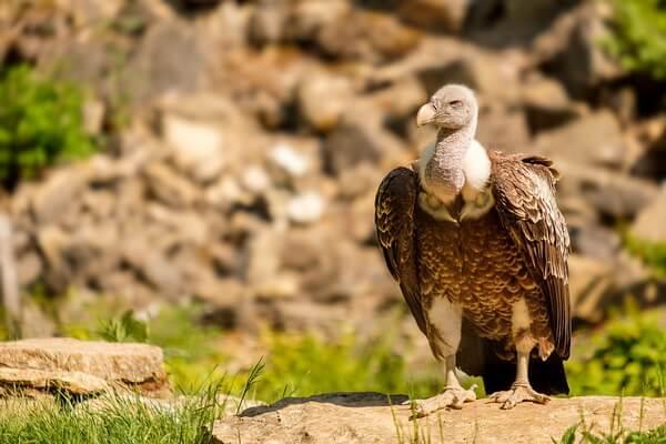 Животные Болгарии с фото и описанием - Стервятники