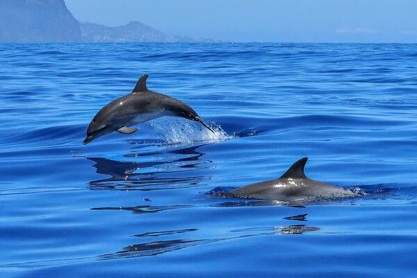 Животные Болгарии с фото и описанием - Дельфины