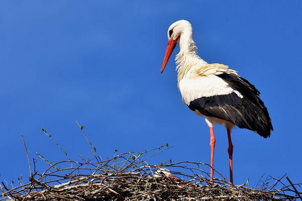 Птицы Болгарии с фото и описанием - Аисты