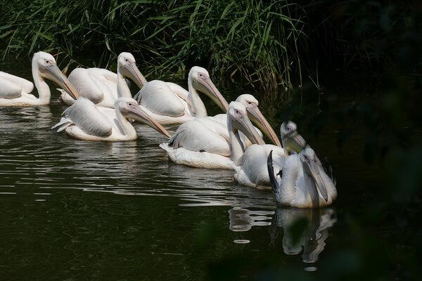 Птицы Болгарии с фото и описанием - Кудрявый пеликан