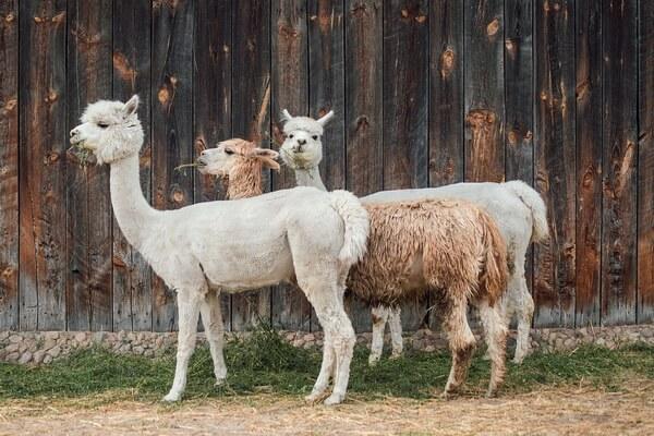 Животные Боливии с фото и описанием - Альпака