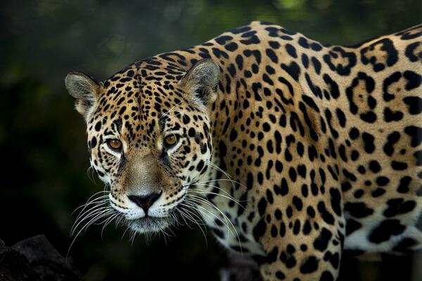 Животные Боливии с фото и описанием - Ягуар