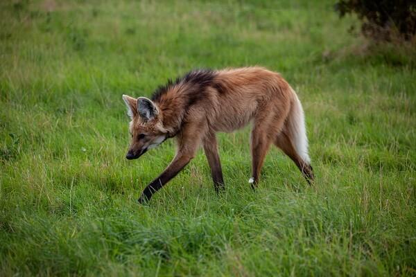 Животные Боливии с фото и описанием - Гривистый волк (гуара)