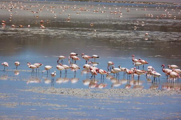 Животные Боливии с фото и описанием - Андский фламинго
