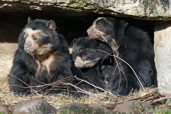 Животные Боливии с фото и описанием - Очковый или андский медведь