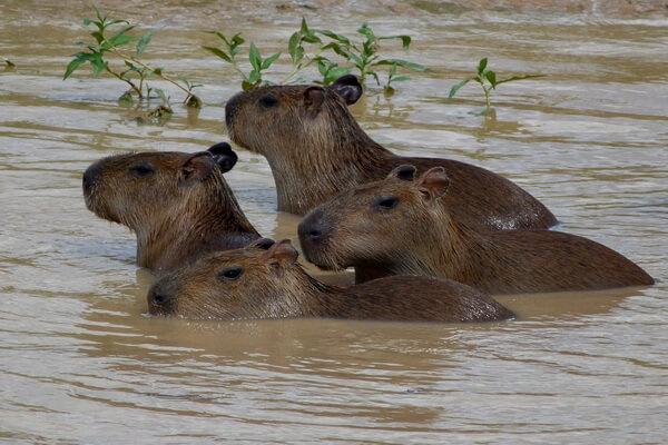 Животные Боливии с фото и описанием - Капибара