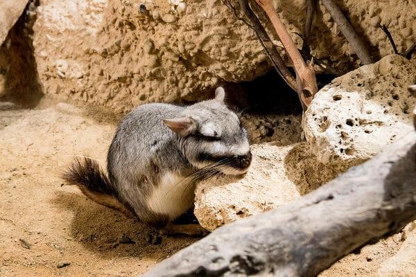 Животные Боливии с фото и описанием - Горная вискаша или южная вискача