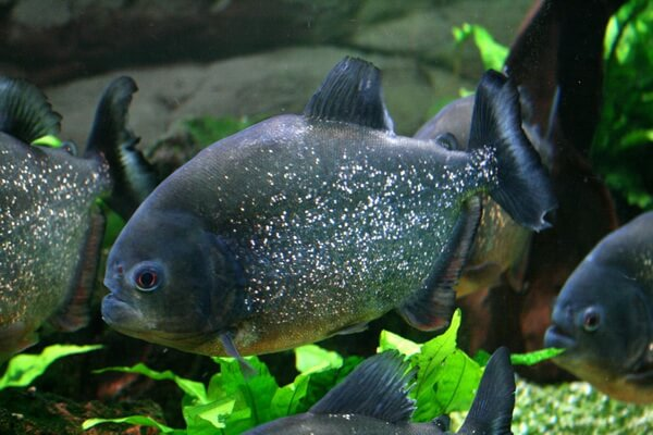 Животные Боливии с фото и описанием - Пиранья