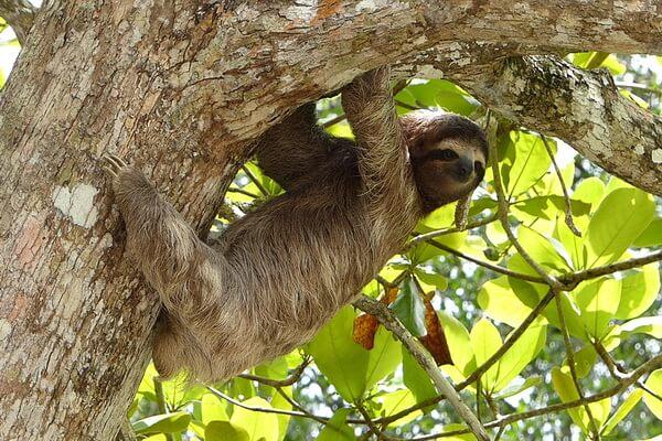 Животные Боливии с фото и описанием - Ленивец