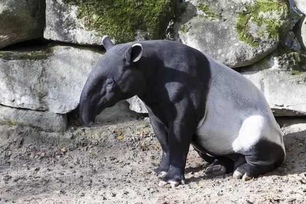 Животные Боливии с фото и описанием - Тапир