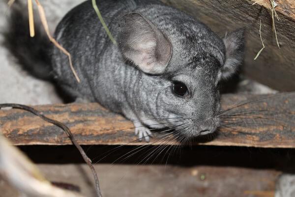 Животные Боливии с фото и описанием - Шиншилла