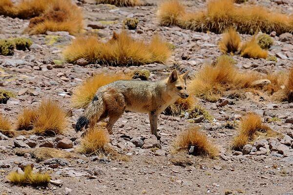 Животные Эквадора с фото и описанием - Андская лисица