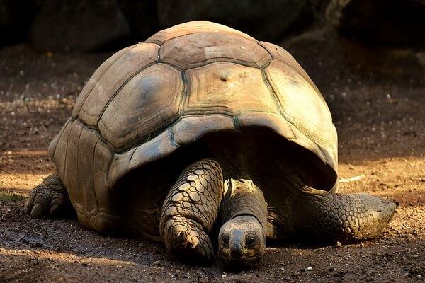 Животные Эквадора с фото и описанием - Галапагосская или слоновая черепаха