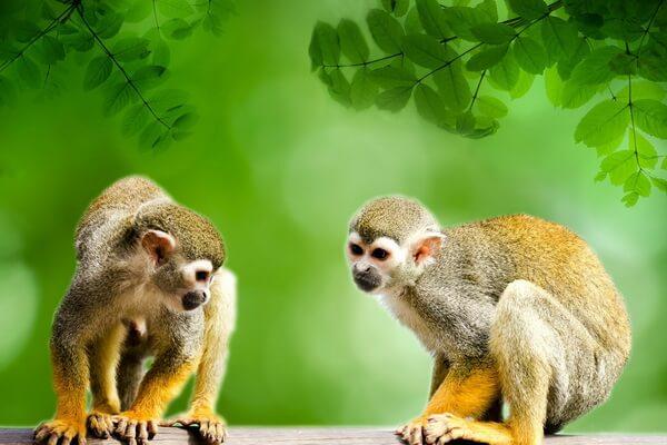 Животные Эквадора с фото и описанием - Эквадорская беличья обезьяна