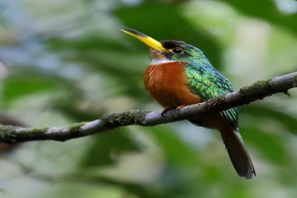 Животные Эквадора с фото и описанием - Желтоклювая якамара