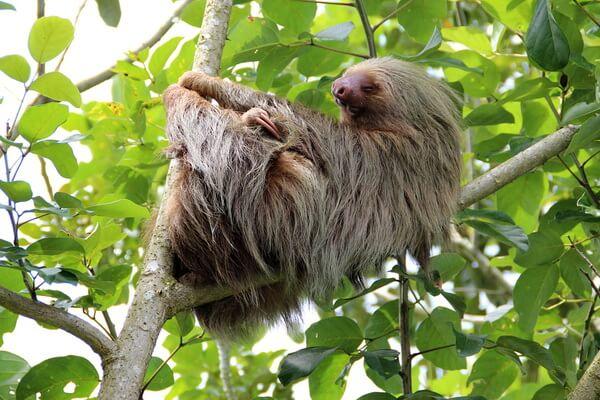 Животные Эквадора с фото и описанием - Ленивцы
