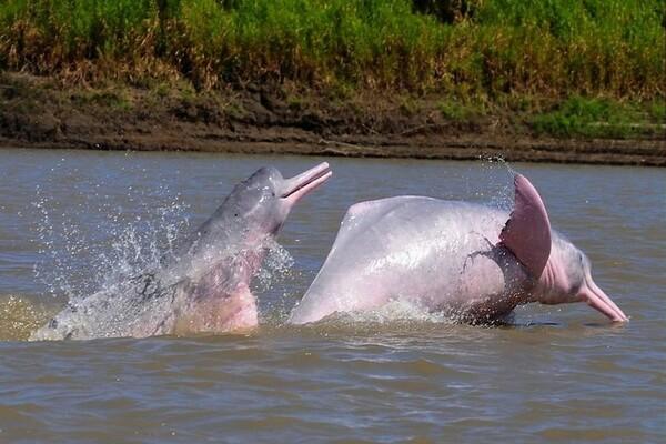 Животные Эквадора с фото и описанием - Белый или амазонский речной дельфин (иния)