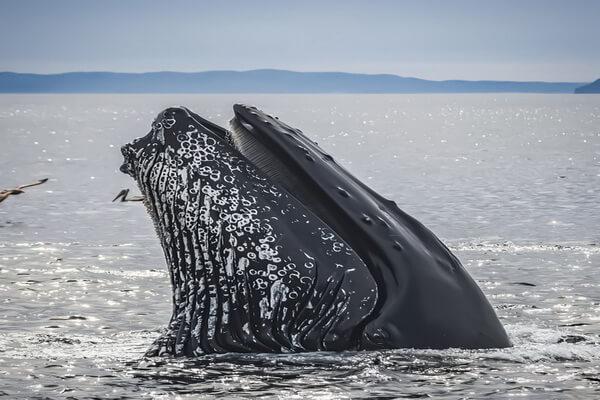 Животные Эквадора с фото и описанием - Горбатые киты