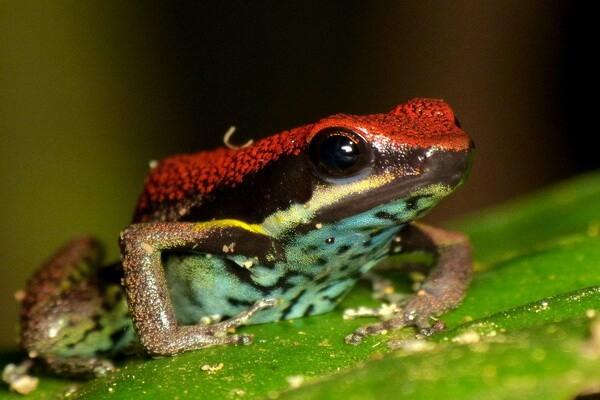 Животные Эквадора с фото и описанием - Эквадорская ядовитая лягушка (Ameerega bilinguis)