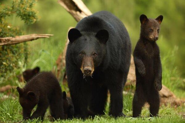 Животные-эндемики Северной Америки - Барибал
