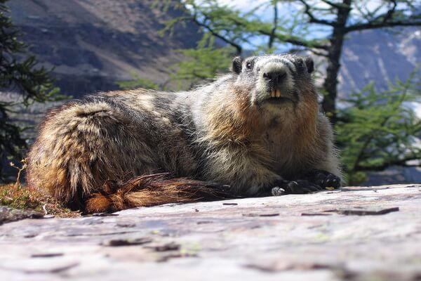 Животные-эндемики Северной Америки - Лесной сурок