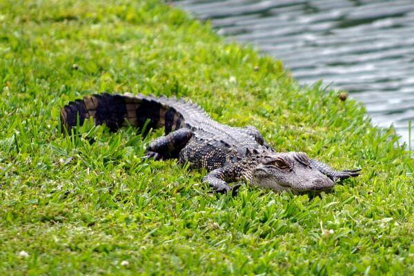 Животные-эндемики Северной Америки - Миссисипский аллигатор