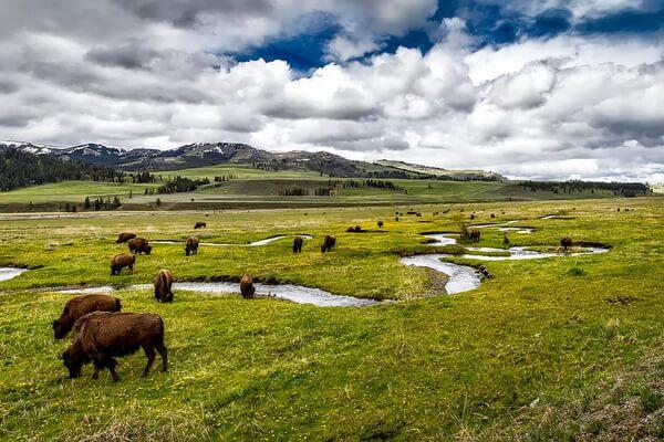 Животные-эндемики Северной Америки - Американский бизон