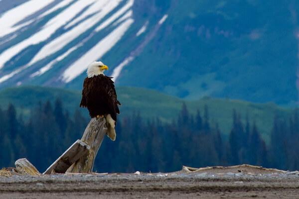 Животные-эндемики Северной Америки - Белоголовый орлан