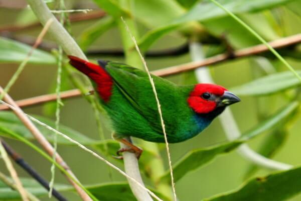 Животные Фиджи с фото и описанием - Фиджийская попугайная амадина