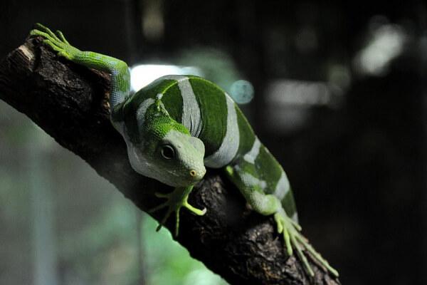 Животные Фиджи с фото и описанием - Пятнистобрюхая фиджийская игуана