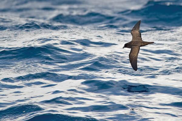 Животные Фиджи с фото и описанием - Тайфунник Макджилливри