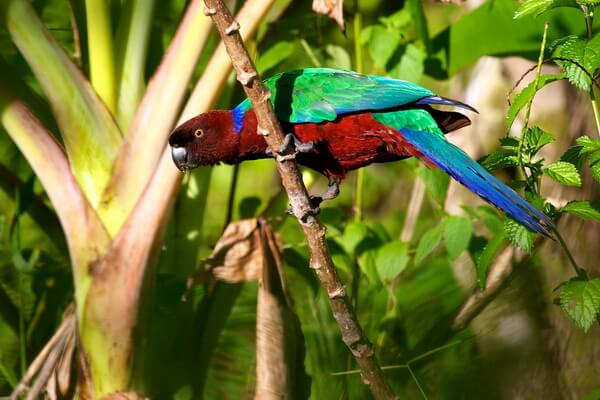 Животные Фиджи с фото и описанием - Малиновый блестящий попугай или мускусный лорикет