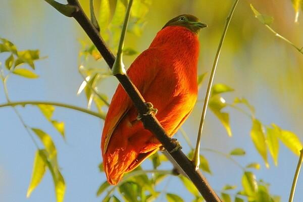Животные Фиджи с фото и описанием - Оранжевый пёстрый голубь