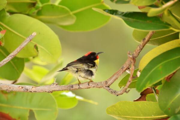 Животные Фиджи с фото и описанием - Оранжевогрудая мизомела