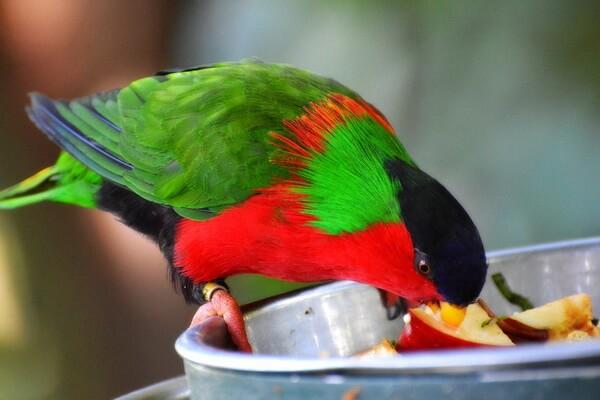 Животные Фиджи с фото и описанием - Лори-отшельник