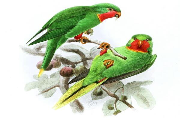 Животные Фиджи с фото и описанием - Красногорлый украшенный лори