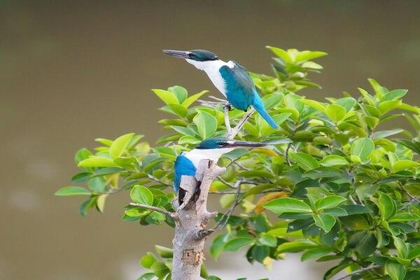 Животные Фиджи с фото и описанием - Священная/белошейная альциона или священный/мангровый зимородок