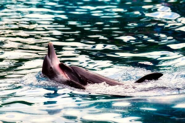 Животные Финляндии с фото и описанием - Морская свинья