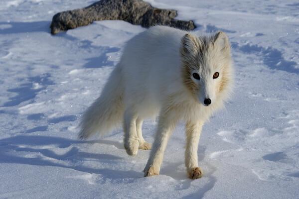 Животные Финляндии с фото и описанием - Полярная лисица или песец