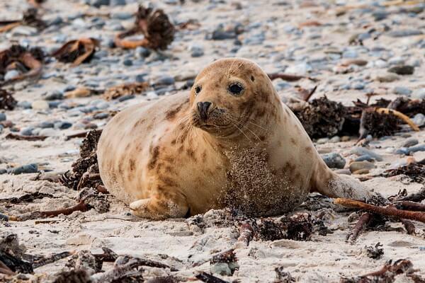 Животные Финляндии с фото и описанием - Длинномордый или серый тюлень (тевяк)