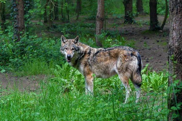 Животные Финляндии с фото и описанием - Серый волк