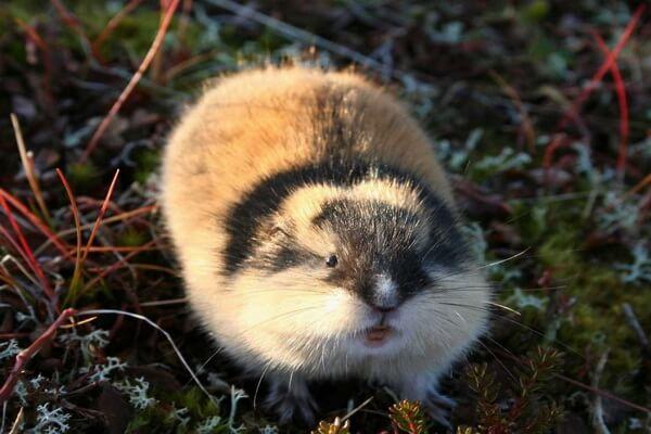 Животные Финляндии с фото и описанием - Лемминги