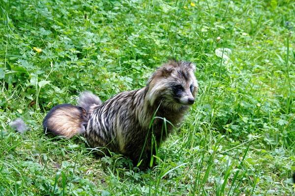 Животные Финляндии с фото и описанием - Енотовидная собака