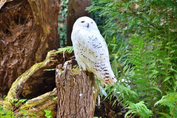 Животные Финляндии с фото и описанием - Белая или полярная сова