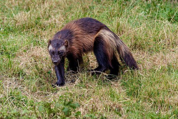 Животные Финляндии с фото и описанием - Росомаха